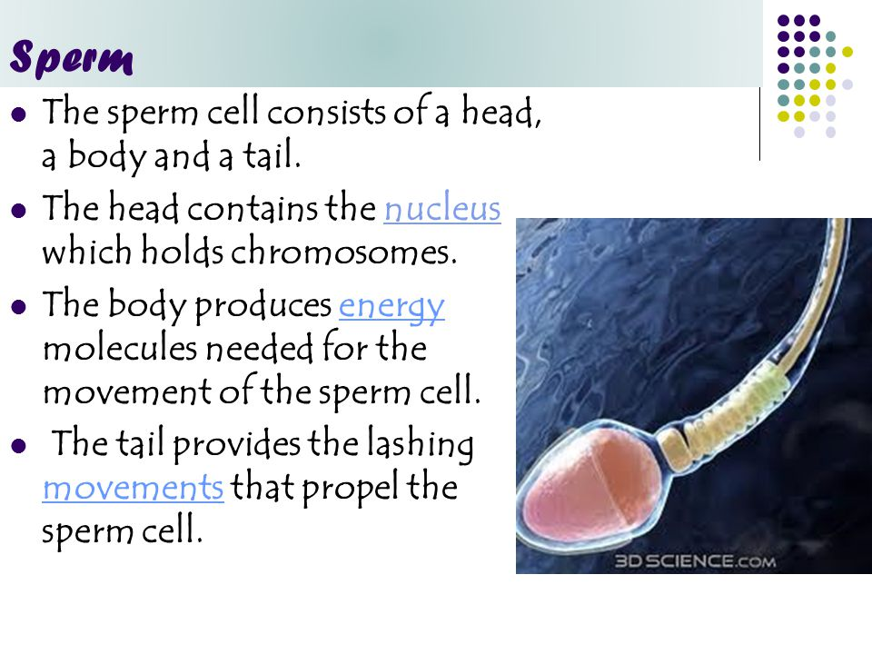 Sperm The sperm cell consists of a head, a body and a tail.