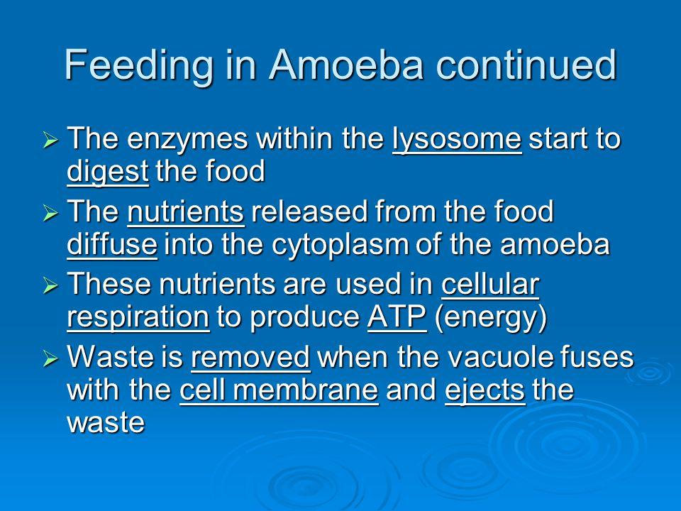 Feeding in Amoeba continued