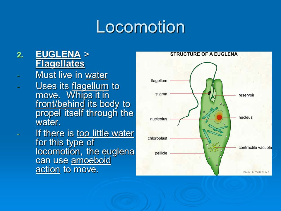 Locomotion EUGLENA > Flagellates Must live in water