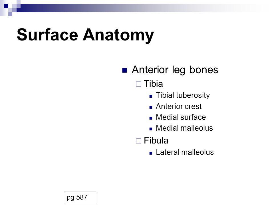 Surface Anatomy Anterior leg bones Tibia Fibula Tibial tuberosity