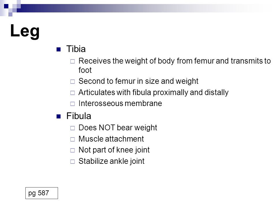 Leg Tibia. Receives the weight of body from femur and transmits to foot. Second to femur in size and weight.