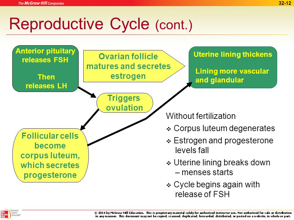 Reproductive Cycle (cont.)