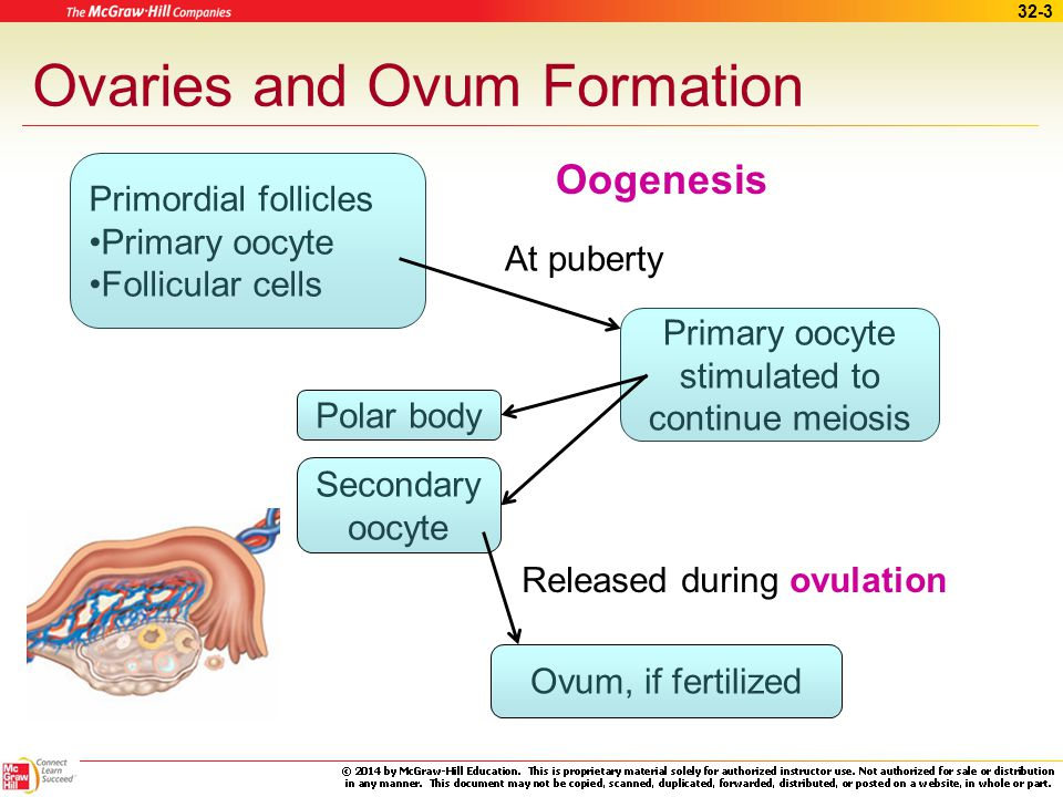Ovaries and Ovum Formation