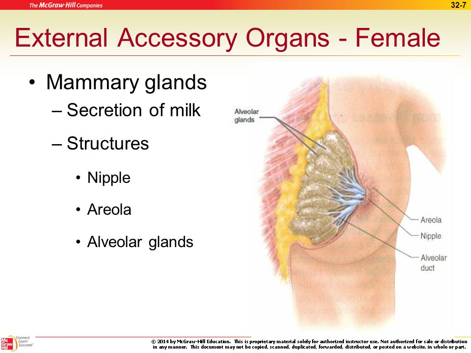 External Accessory Organs - Female