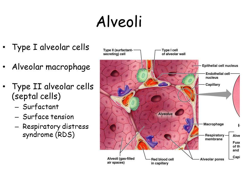 Alveoli Type I alveolar cells Alveolar macrophage