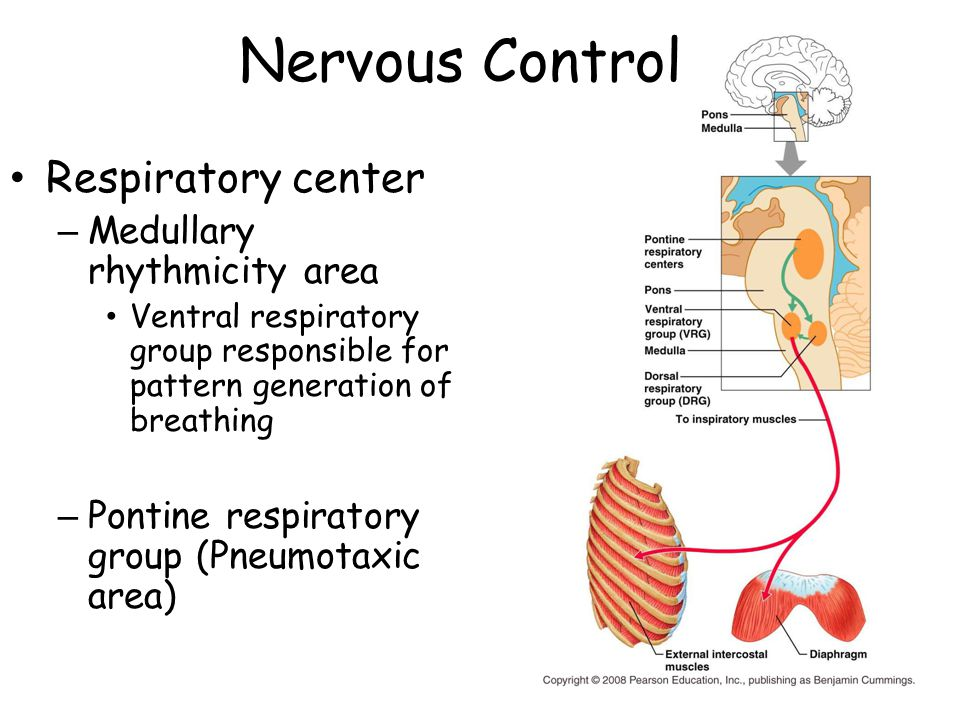 Nervous Control Respiratory center Medullary rhythmicity area