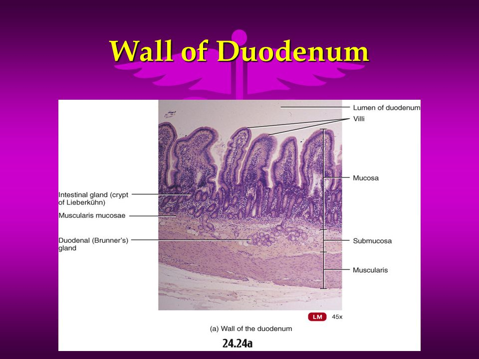 Wall of Duodenum