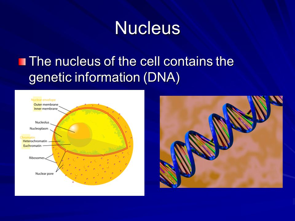 Nucleus The nucleus of the cell contains the genetic information (DNA)