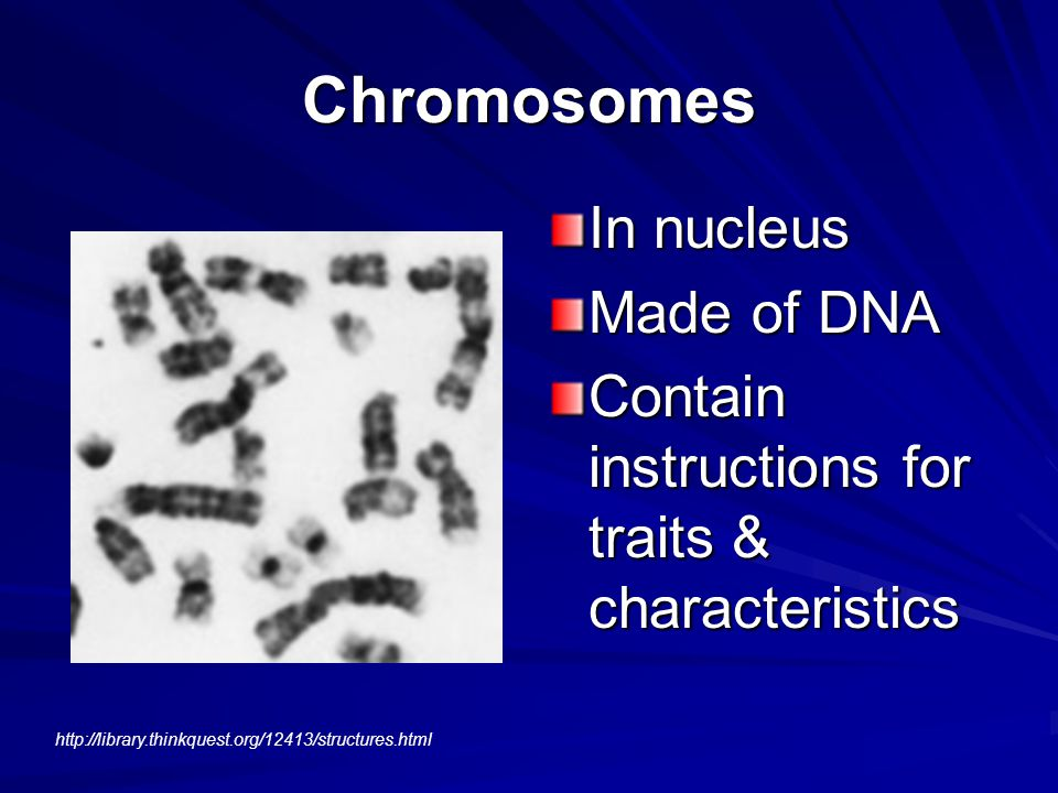 Chromosomes In nucleus Made of DNA