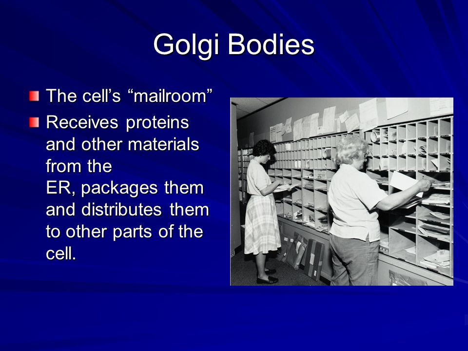 Golgi Bodies The cell's mailroom