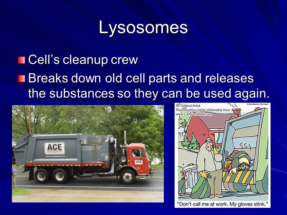 Lysosomes Cell's cleanup crew