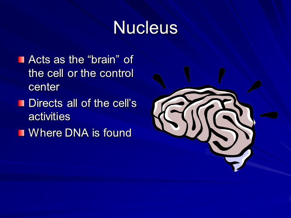 Nucleus Acts as the brain of the cell or the control center