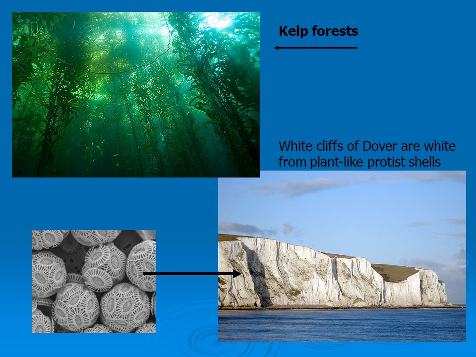 Kelp forests White cliffs of Dover are white from plant-like protist shells