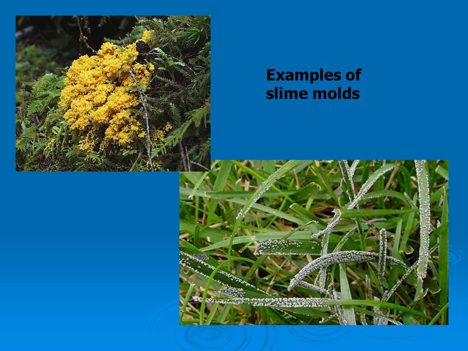 Examples of slime molds