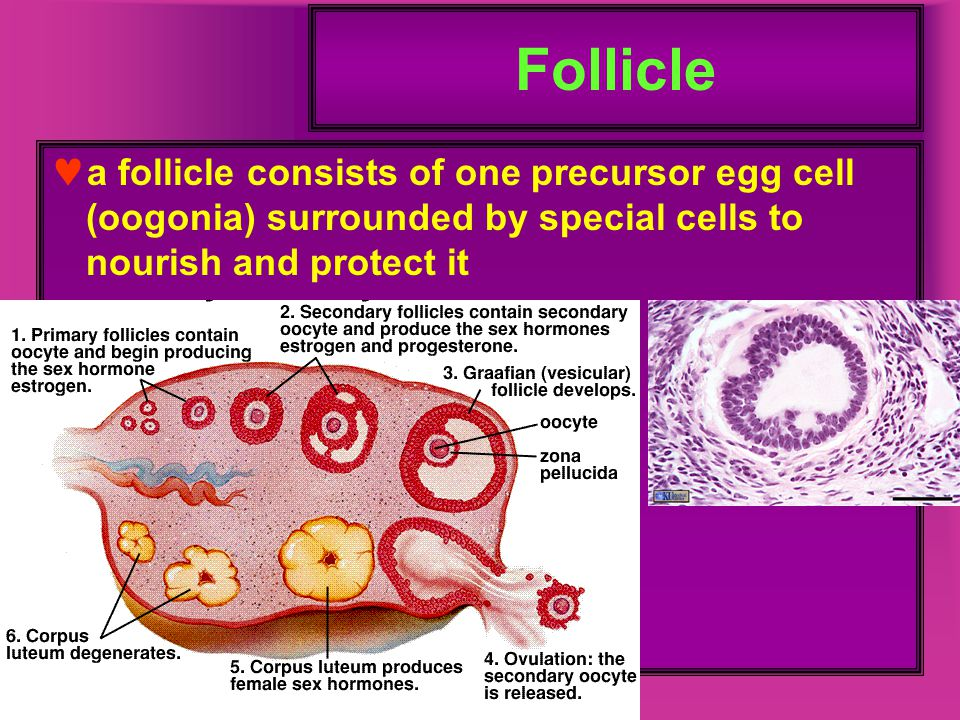Follicle a follicle consists of one precursor egg cell (oogonia) surrounded by special cells to nourish and protect it.