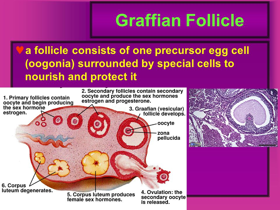 Graffian Follicle a follicle consists of one precursor egg cell (oogonia) surrounded by special cells to nourish and protect it.