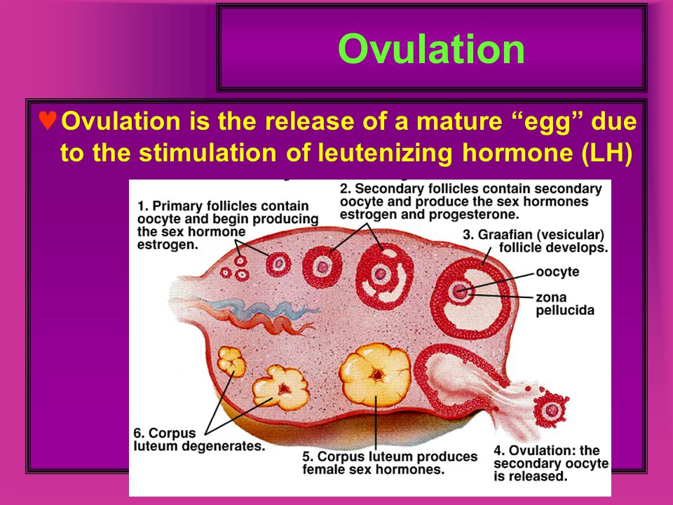 Ovulation Ovulation is the release of a mature egg due to the stimulation of leutenizing hormone (LH)