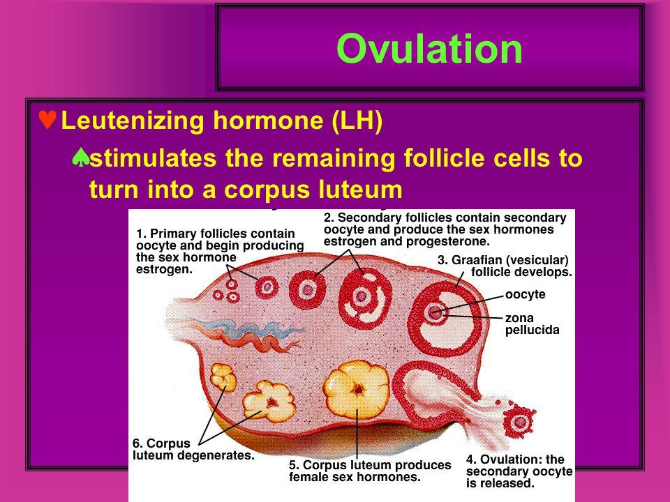 Ovulation Leutenizing hormone (LH)