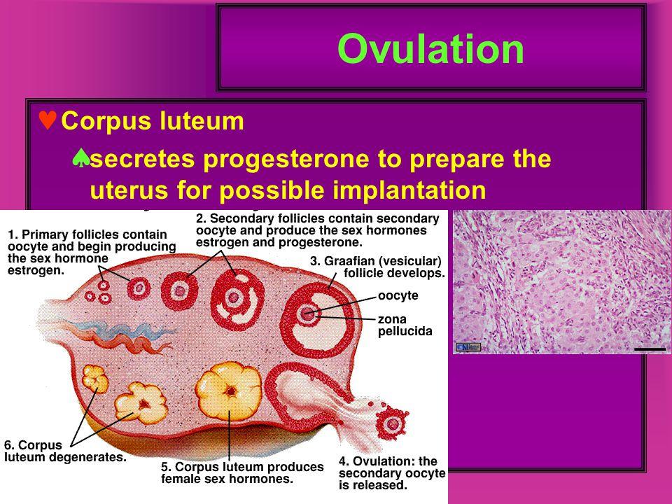 Ovulation Corpus luteum