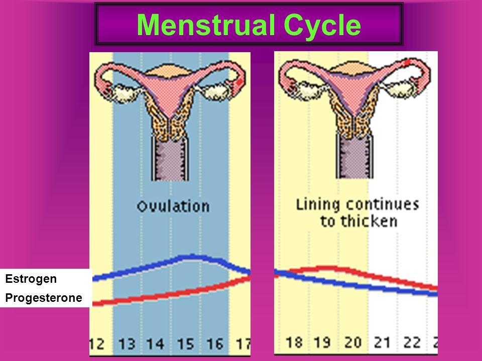 Menstrual Cycle Estrogen Progesterone