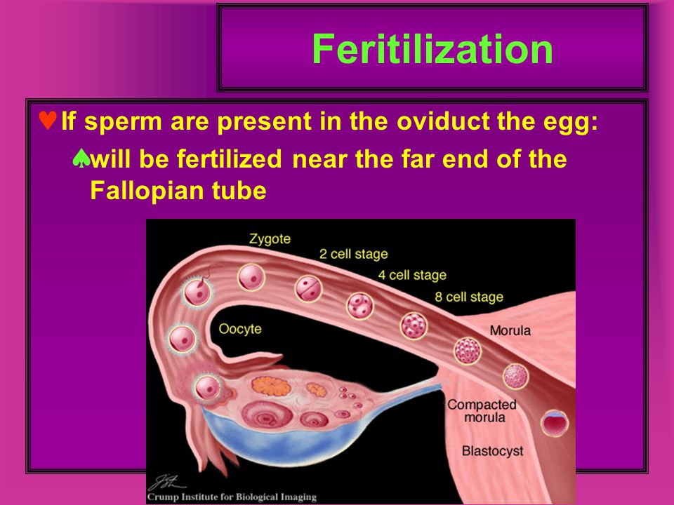 Feritilization If sperm are present in the oviduct the egg: