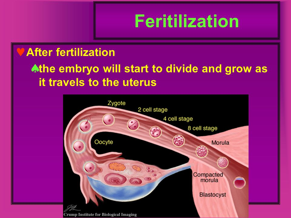 Feritilization After fertilization