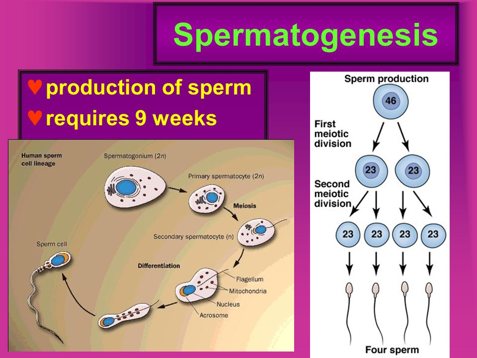Spermatogenesis production of sperm requires 9 weeks