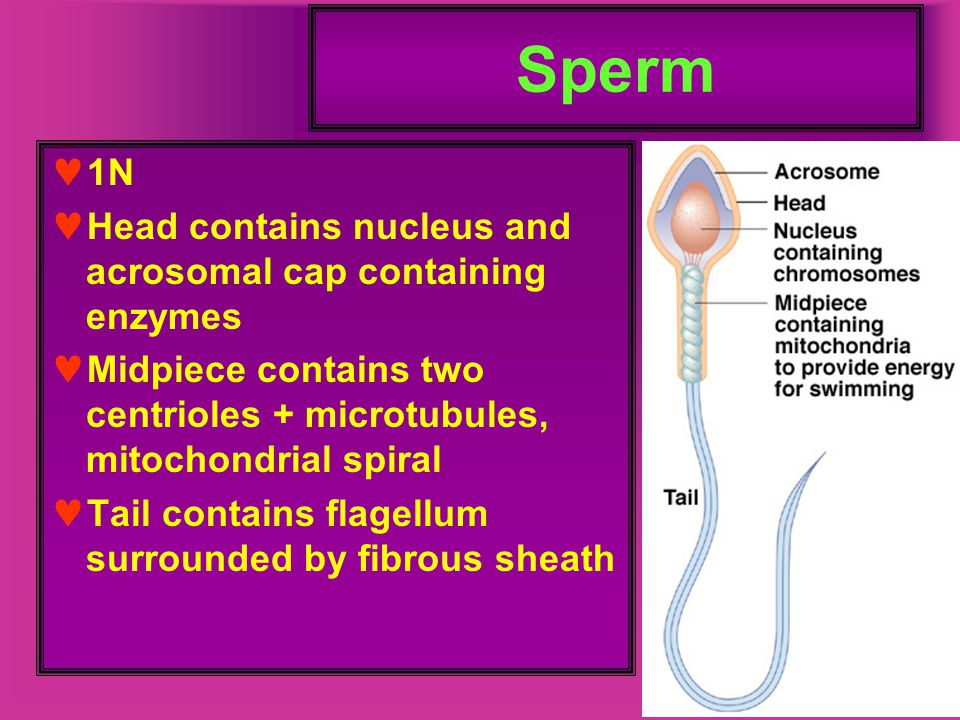 Sperm 1N Head contains nucleus and acrosomal cap containing enzymes