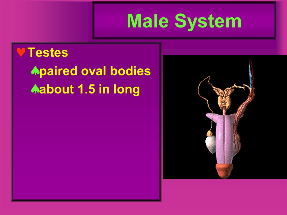 Male System Testes paired oval bodies about 1.5 in long