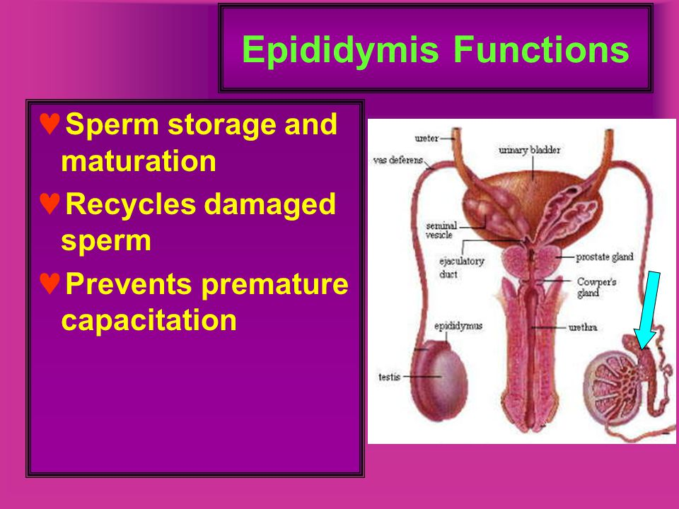 Epididymis Functions Sperm storage and maturation