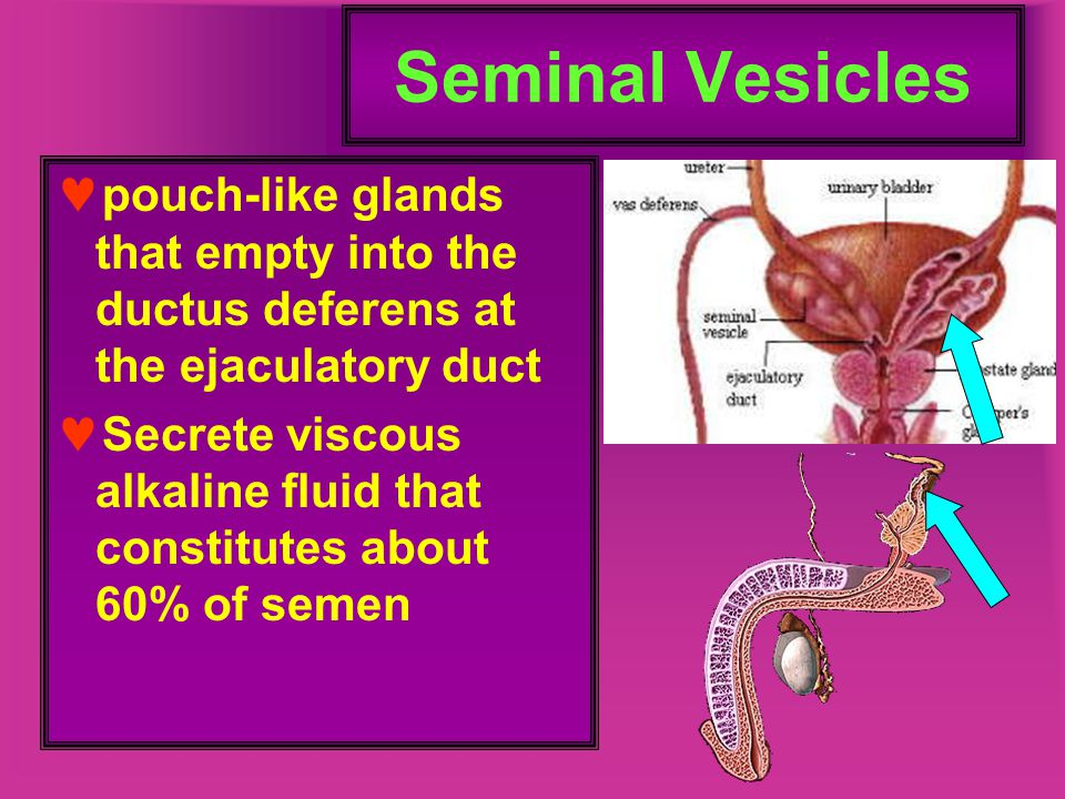 Seminal Vesicles pouch-like glands that empty into the ductus deferens at the ejaculatory duct.