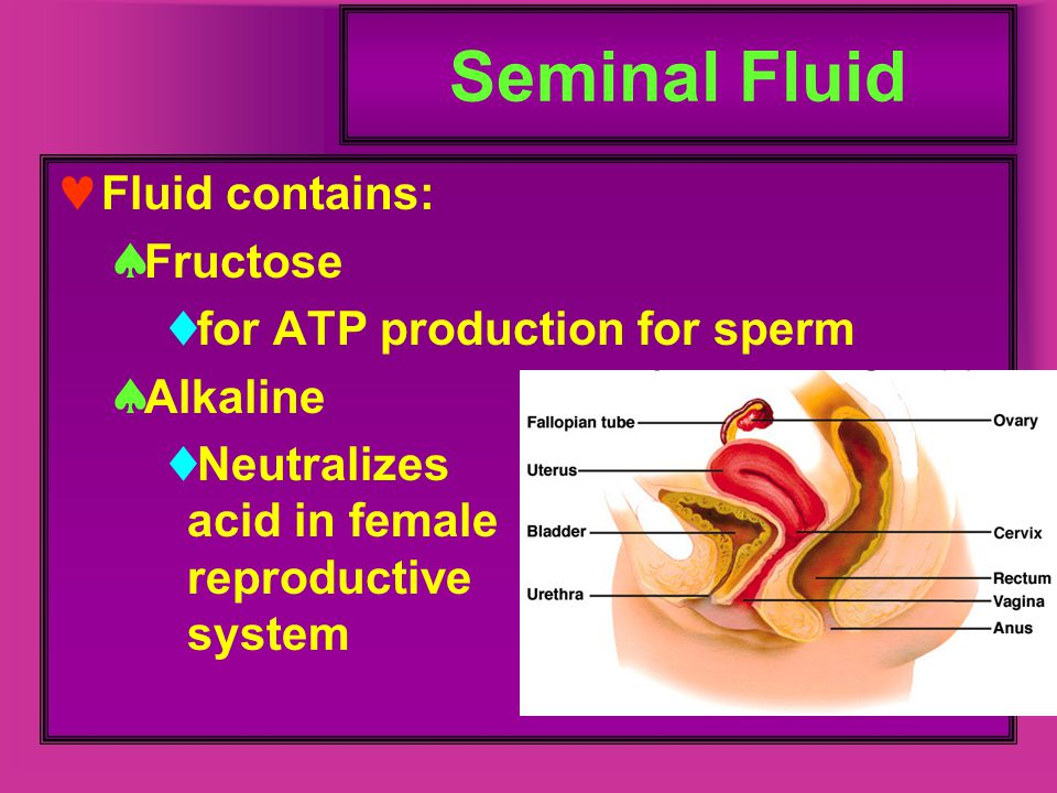 Seminal Fluid Fluid contains: Fructose for ATP production for sperm