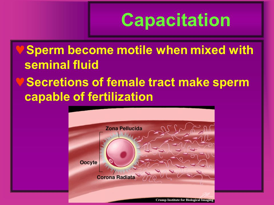 Capacitation Sperm become motile when mixed with seminal fluid