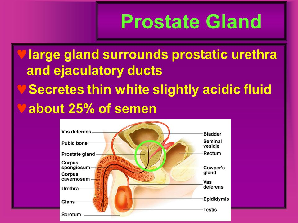 Prostate Gland large gland surrounds prostatic urethra and ejaculatory ducts. Secretes thin white slightly acidic fluid.