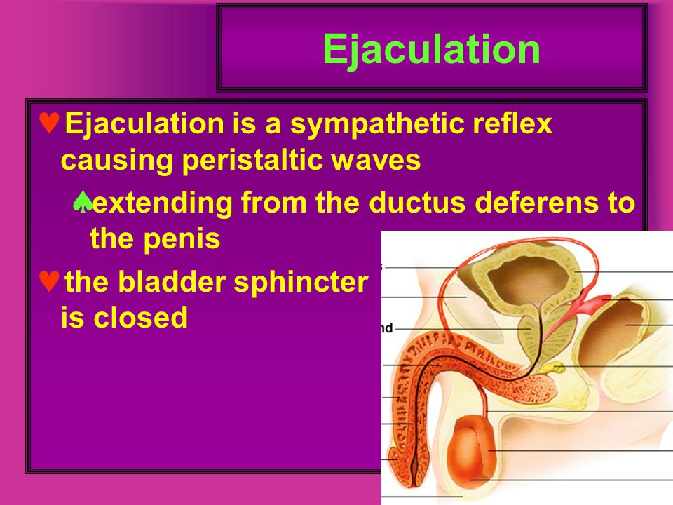 Ejaculation Ejaculation is a sympathetic reflex causing peristaltic waves. extending from the ductus deferens to the penis.
