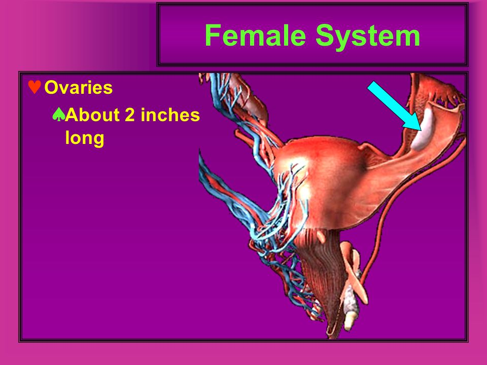 Female System Ovaries About 2 inches long