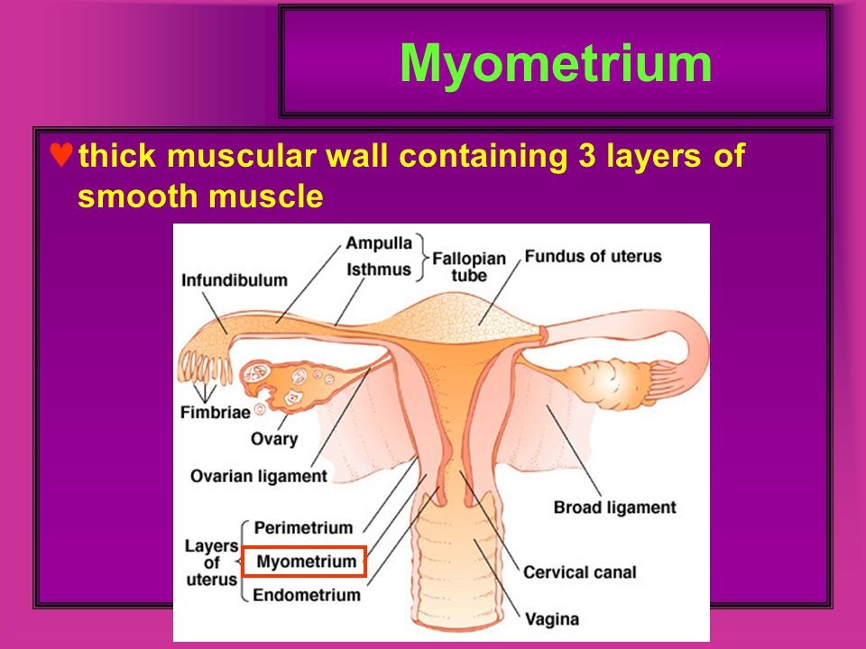 Myometrium thick muscular wall containing 3 layers of smooth muscle