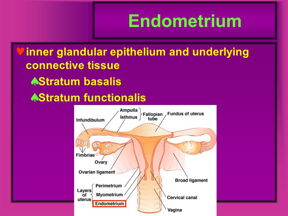 Endometrium inner glandular epithelium and underlying connective tissue.