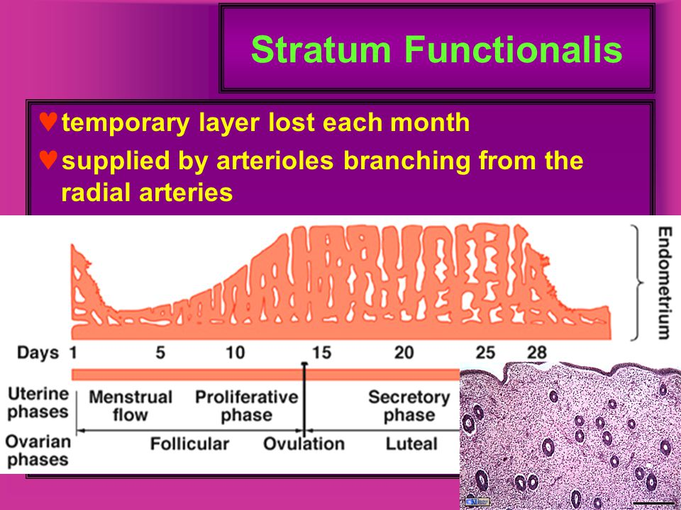 Stratum Functionalis temporary layer lost each month
