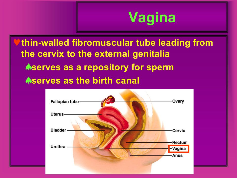 Vagina thin-walled fibromuscular tube leading from the cervix to the external genitalia. serves as a repository for sperm.