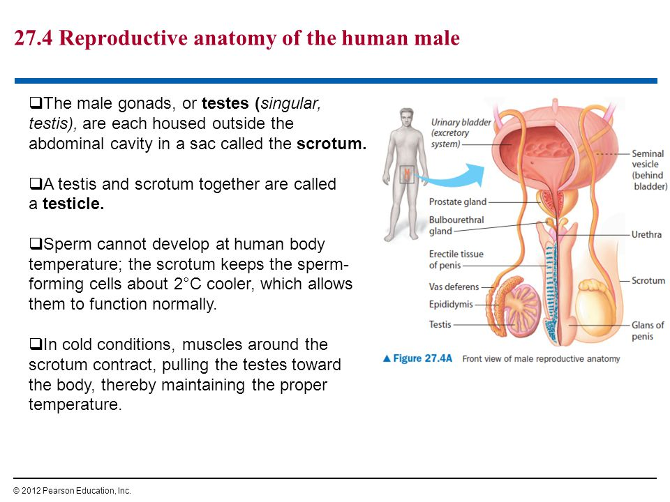 Male Anatomy Facts