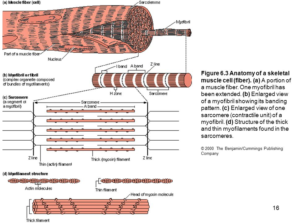 Figure 6. 3 Anatomy of a skeletal muscle cell (fiber)
