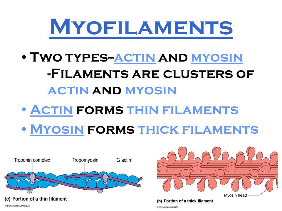 Myofilaments Two types--actin and myosin -Filaments are clusters of actin and myosin. Actin forms thin filaments.