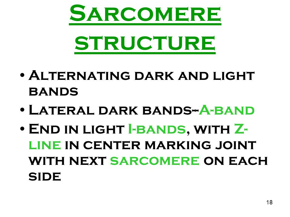 Sarcomere structure Alternating dark and light bands