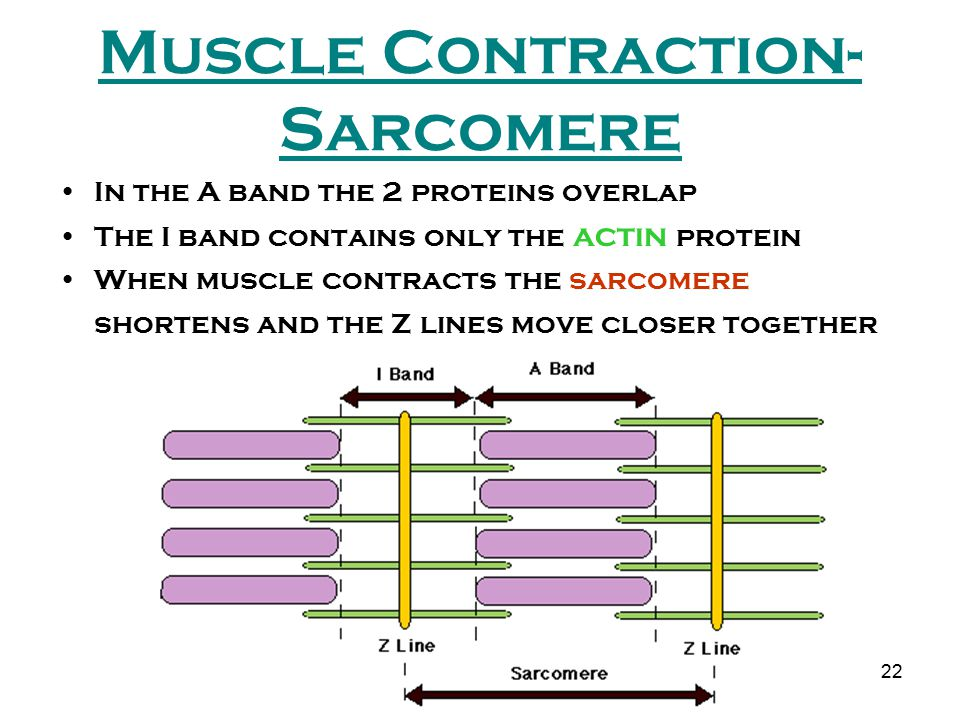 Muscle Contraction-Sarcomere