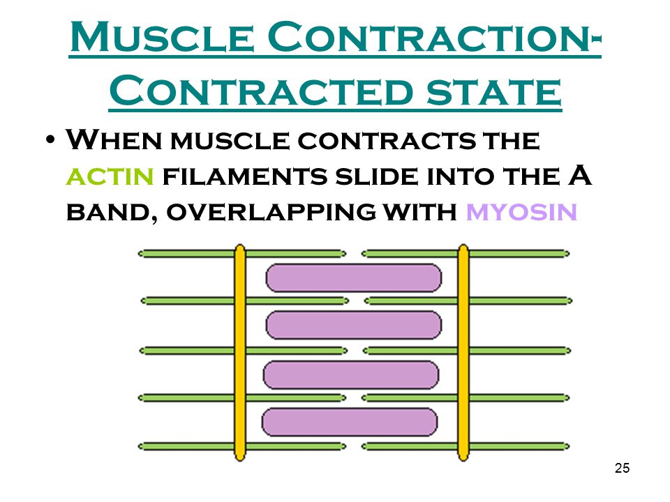 Muscle Contraction-Contracted state