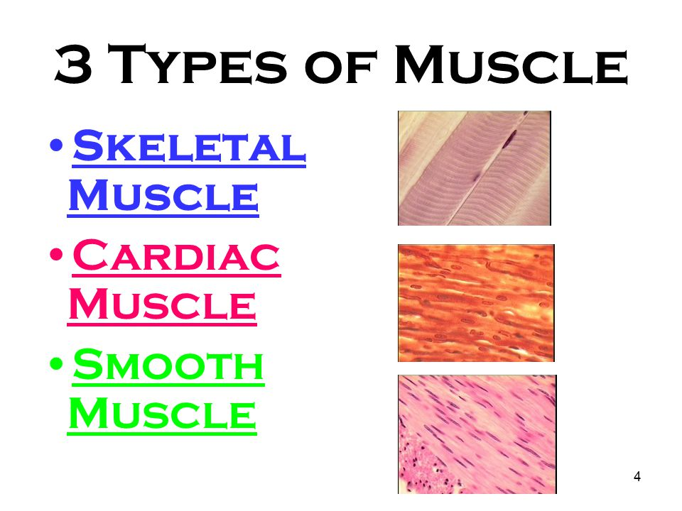 3 types of muscle tissue Muscle tissue is a soft tissue, and is one of the four fundamental types of tissue present in animals there are three types of muscle tissue recognized in vertebrates.