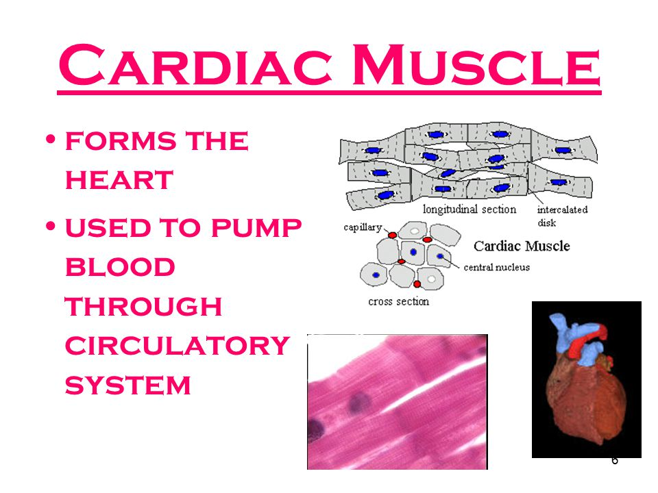 Cardiac Muscle forms the heart