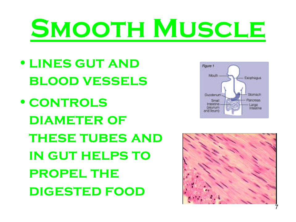 Smooth Muscle lines gut and blood vessels