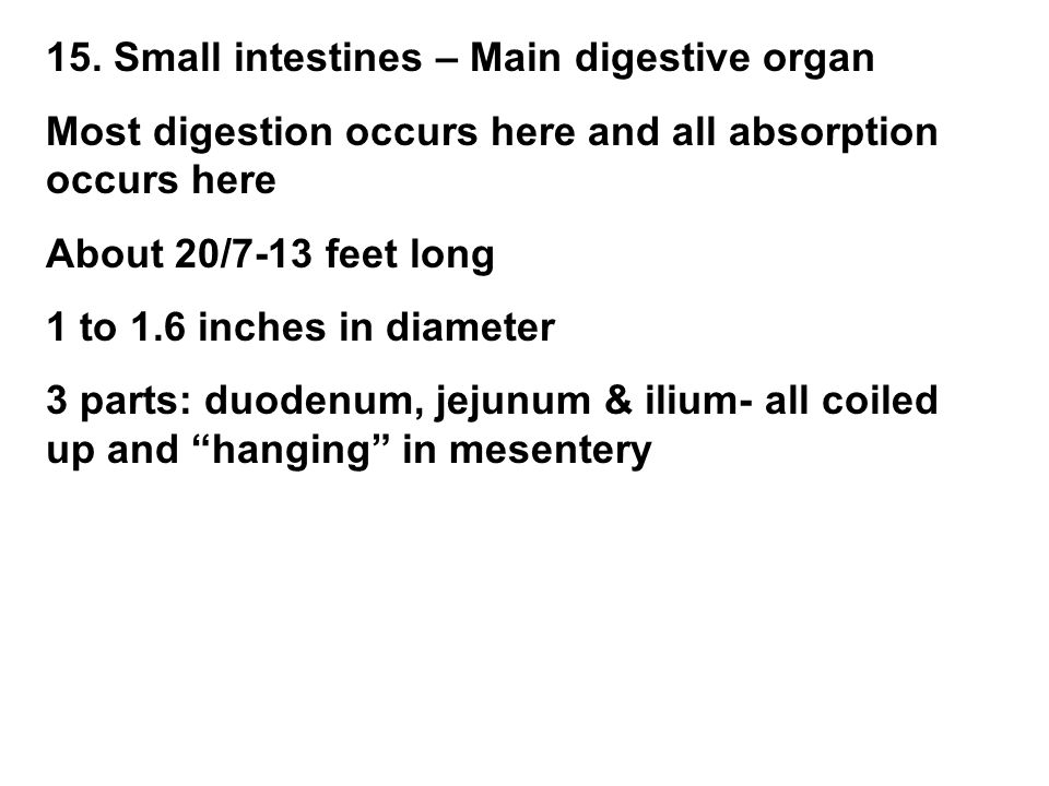 15. Small intestines – Main digestive organ